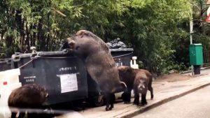 """VHongkongu byl nafilmován obří kanec: Jde o legendární """"Pigzillu""""?"""