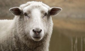"""Bude možné """"pěstovat"""" náhradní lidské orgány uvnitř ovcí?"""