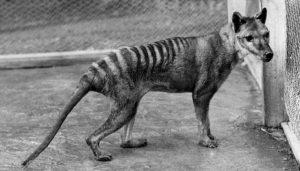 Vakovlk tasmánský ve skutečnosti nevyhynul, tvrdí vědec