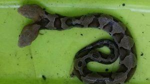 V Americe žije dvouhlavý had: Může prý napadnout sám sebe!