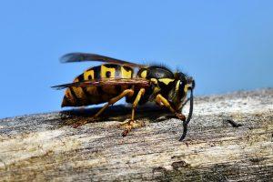 Proč nenávidíme vosy a milujeme včely?