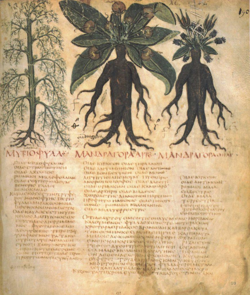 S označením a připodobněním mandragory k lidskému tělu přišli již staří Římané.