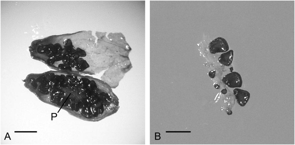 32000 let stará semena z ruského permafrostu, foto pnas.org