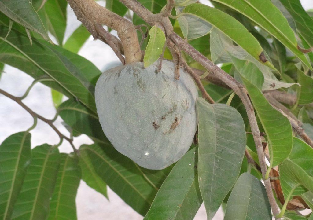 Léčivé vlastnosti mají listy i plody stromu. Foto pixabay.com