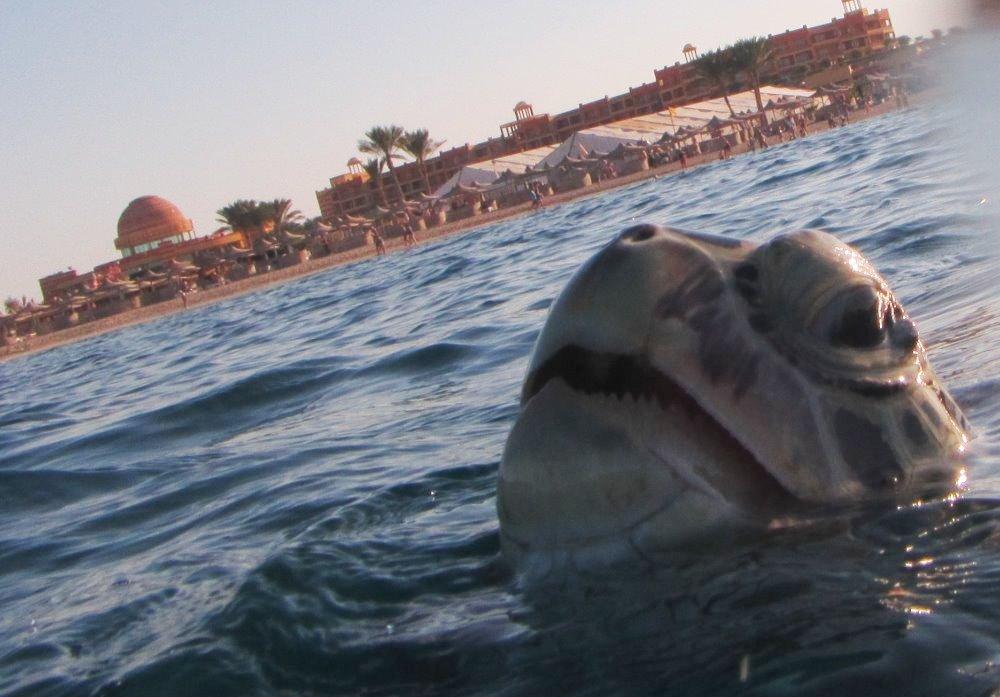 Želva kareta se vynořila na hladinu, aby se nadechla. Vpozadí je pláž zátoky Abu Dabbab.