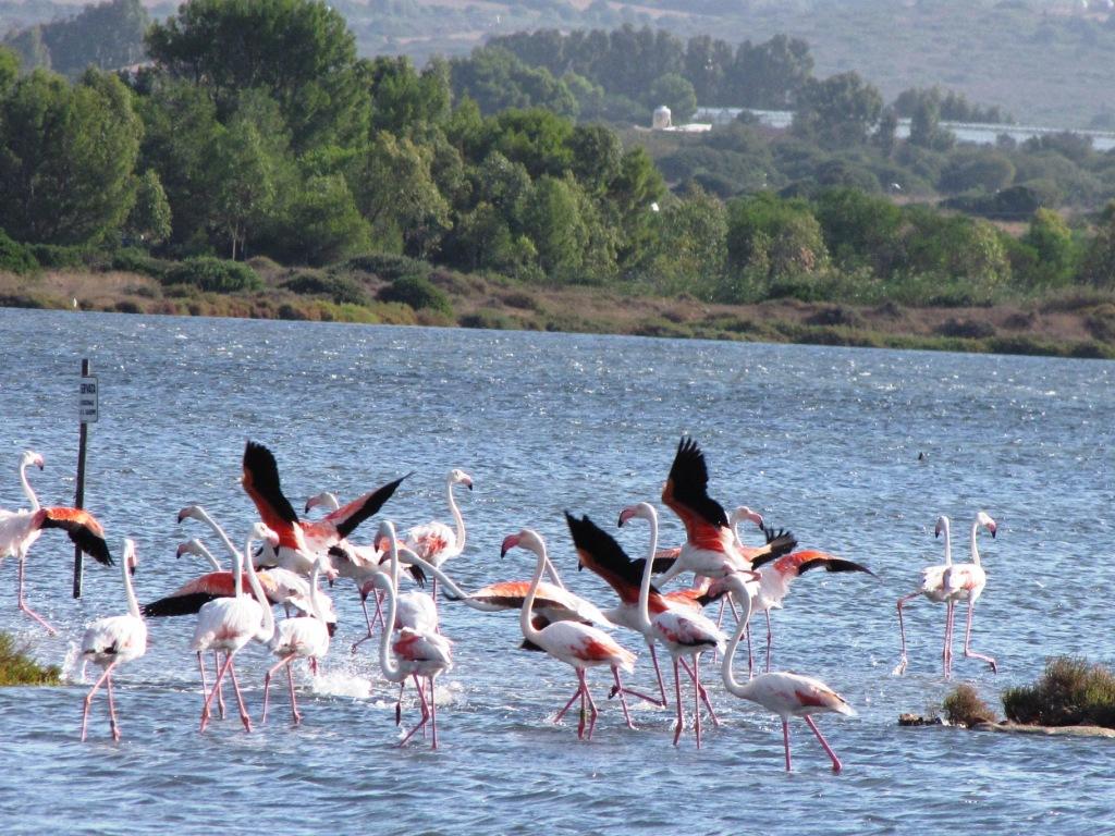 Kromě nuraghů můžete na Sardinii obdivovat i početné kolonie plameňáků.