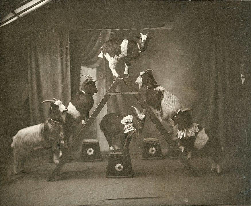 Zvířecí čísla byla ve varieté vaudeville obzvlášť oblíbená. Foto: Neznámý autor / Creative Commons / volné dílo