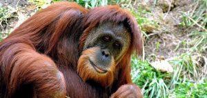 Na Sumatře byl spatřen nový druh orangutana!